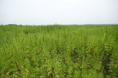 Free Hemp Field Royalty Free Stock Images - 26387909