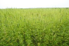 Hemp field stock photos