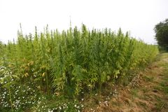 Hemp field Stock Image