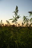 Hemp field Royalty Free Stock Images