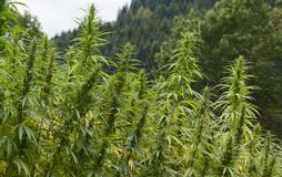 Hemp field detail Stock Photo