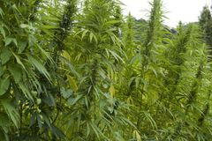 Hemp field detail Royalty Free Stock Images