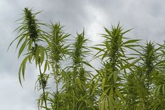 Hemp field detail Stock Image