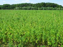 Hemp field. Large hemp field with forest at background Stock Images