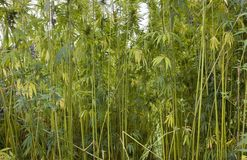 Hemp field at summer time Stock Photo