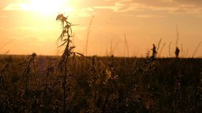 Hemp field at sunset. Young cannabis sway in the wind against the background of the evening sky. Two silhouettes of. Hemp field at sunset. Two silhouettes of stock video footage