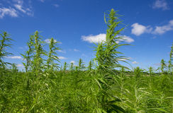Hemp. On field - technical cannabis royalty free stock image