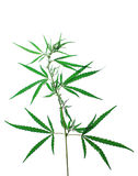 Hemp isolated Royalty Free Stock Images