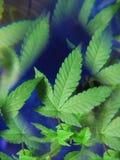 Hemp leaf Stock Photography