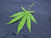 Hemp leaf Stock Image