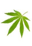 Hemp Leaf Stock Photo