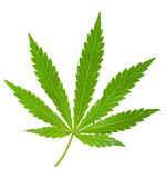 Hemp leaf. Isolated on a white royalty free stock photography