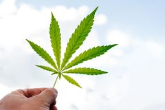 The guy is holding a cannabis sheet in his hand. Hemp leaf in hand on a sunny day Stock Photos