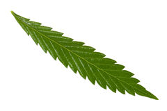 Hemp leaf isolated Stock Images