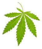 Hemp Leaf Isolated Royalty Free Stock Photography