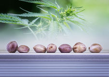 Hemp leaves and seeds Royalty Free Stock Image