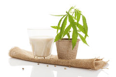 Hemp milk. Royalty Free Stock Photo