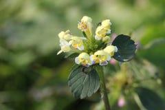 Hemp-Nettle Blossoms Royalty Free Stock Photos