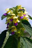 Hemp nettle (Galeopsis speciosa) Stock Images