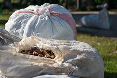 Hemp sacks full of harvest chestnuts accumulated on the ground. Agriculture, business concept Stock Photo