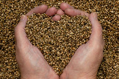 Hemp Seeds. Held by woman hands, shaping a heart