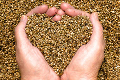 Hemp Seeds. Held by woman hands, shaping a heart with  covering the background stock photography