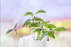 Hemp sprout young leaves. Hemp sprout young leaf in a white pot in a colorful blurry background Royalty Free Stock Image