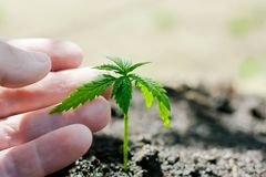 Hemp sprouts growing. Farmers are planting marijuana seedling. Hand closeup with cannabis seedling outdoors royalty free stock photos