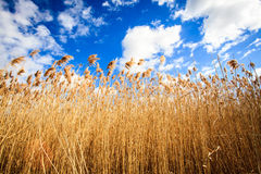 Hemp in sunset on the wind. With beautiful blue sky Royalty Free Stock Images