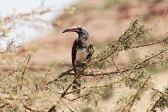 Hemprichii Lophoceros птицы-носорог ` s Hemprich в дереве Стоковое Фото