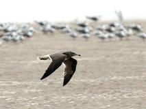 Hemprichs Meeuw, Sooty Gull, Larus hemprichii. Hemprichs Meeuw in vlucht, Sooty Gull in flight stock photography