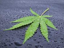 Hempy leaf Stock Photos