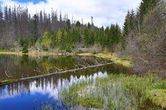 Hemsökte träd, bergigt landskap, sjö Laka, Šumava, Tjeckien royaltyfri bild
