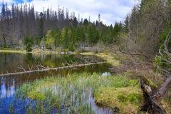Hemsökte träd, bergigt landskap, sjö Laka, Šumava, Tjeckien arkivfoton