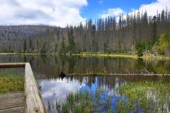 Hemsökte träd, bergigt landskap, sjö Laka, Šumava, Tjeckien royaltyfri foto