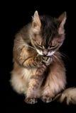 Hemself que se lava del gato Fotografía de archivo