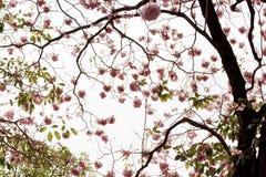 hemsl pentaphylla tabebuia 免版税图库摄影
