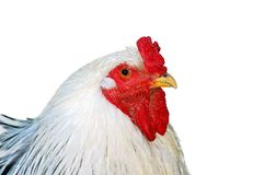 Hen. Isolated on white background Royalty Free Stock Images