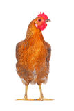 Hen Stock Photography
