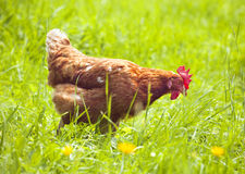 Hen Royalty Free Stock Photo