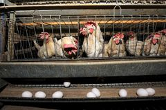 Hen. Young Hen in a cage on a factory Royalty Free Stock Photos