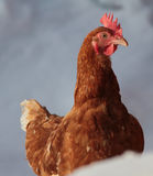 Hen. Lonely hen in winter landscape, easy to isolate stock image