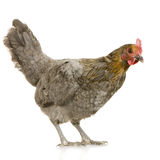 Hen Stock Images