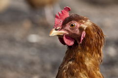 Hen. Portrait of a housewife Royalty Free Stock Image