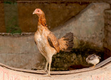 The Hen Stock Photography