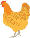 Hen. Vector of hen illustrtation on the white background Stock Photography