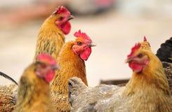 Hen. The yard breeding hen his head high Royalty Free Stock Image