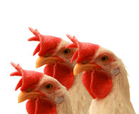 Hen Royalty Free Stock Photography