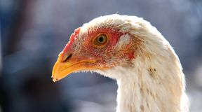 Hen. Close up of a head of a white hen stock photography