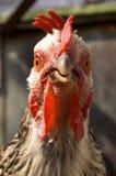 Hen Stock Photo